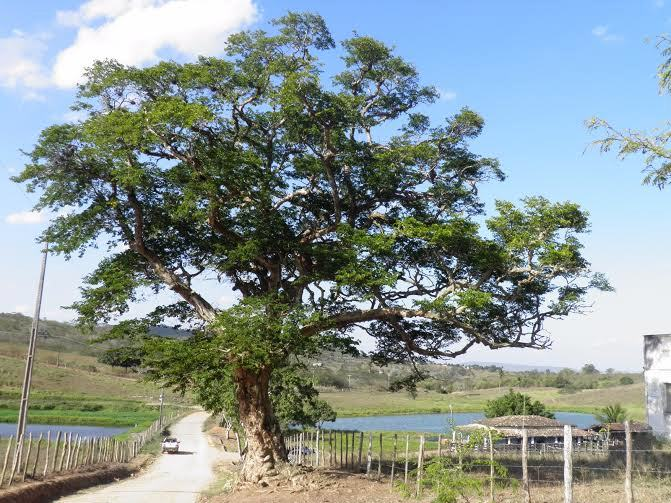 Árvore Arapiraca: frutos que geram acolhimento, prosperidade e desenvolvimento