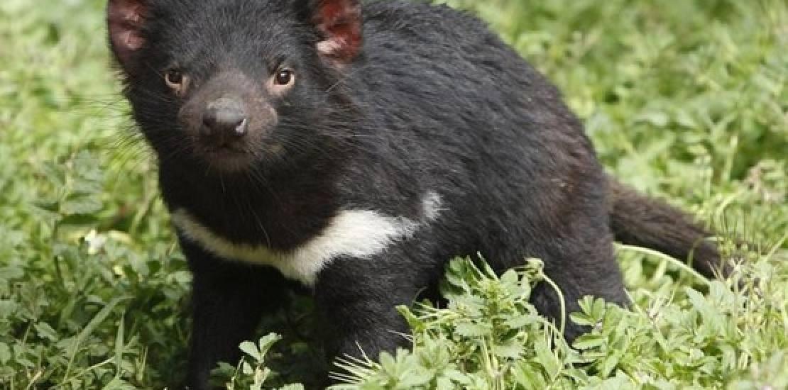 CIÊNCIA Molécula descoberta no Brasil pode salvar o diabo-da-tasmânia de extinção