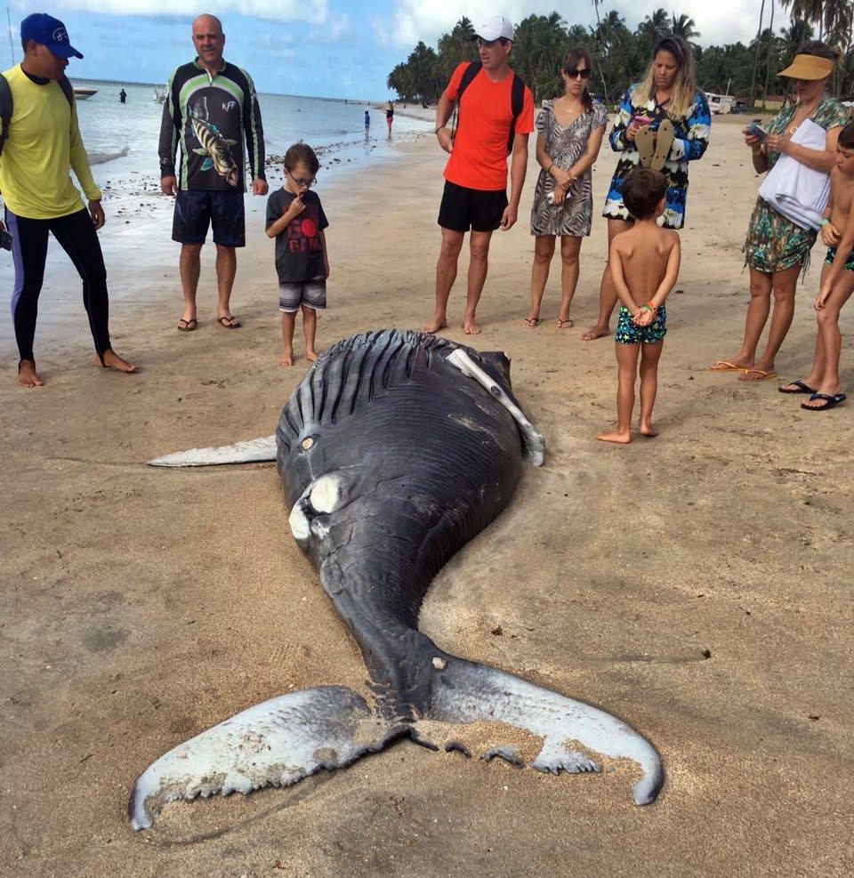 Filhote de baleia jubarte é encontrada morta em praia de Alagoas