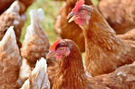 chicken-3587380-1920