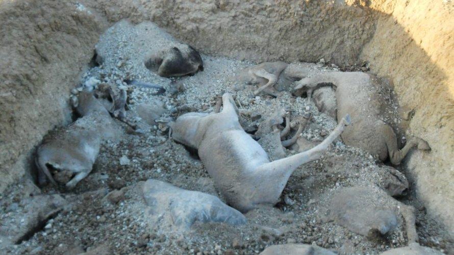 Centenas de jumentos são vítimas de maus-tratos próximo a Euclides da Cunha
