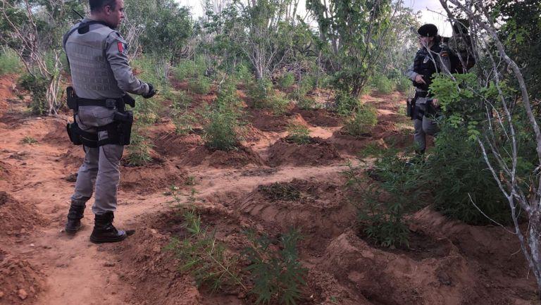 Após troca de tiros com traficantes, polícia aprende duas toneladas de pés de maconha em Mata Grande