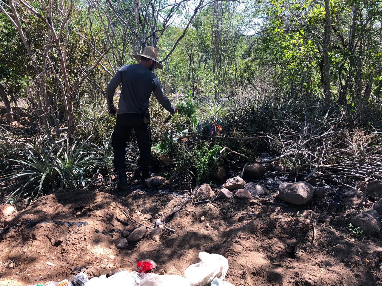 PF e SSP destroem mais de 700 pés de maconha e sistema de irrigação em Canapi