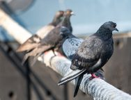 Pigeons sitting on ship hawser. Thick rope tied to mooring. Pigeons in city port