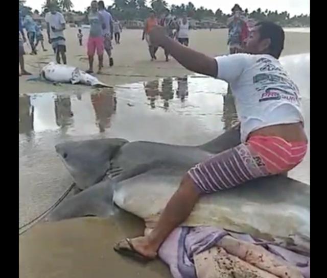 Tubarões Tigre são capturados por pescadores na praia do Pontal do  Peba em Alagoas