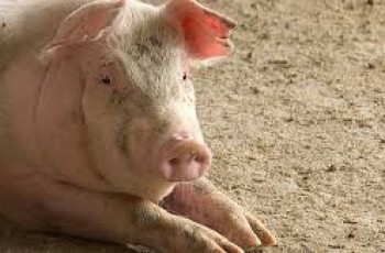 Donos de porcos fogem com os animais após detecção da Peste Suína no Agreste