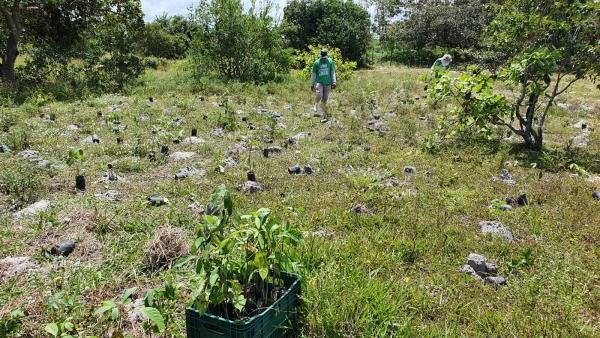 PLANTIO Três mil mudas de árvores são plantadas na APA da Marituba do Peixe em Penedo