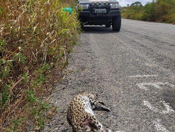 Vídeo: Duas Jaguatiricas são encontradas mortas em rodovias do Sertão de Alagoas