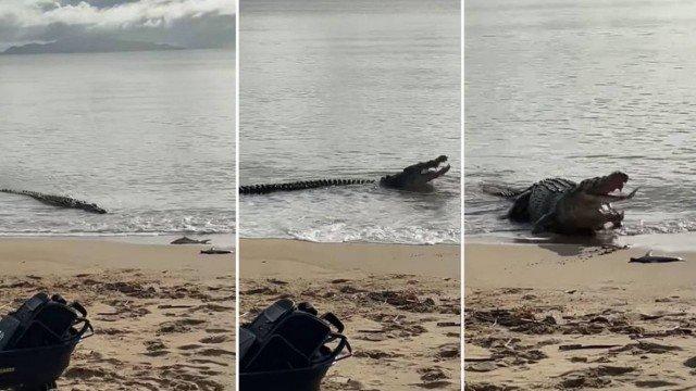 Crocodilo de 4 metros aparece em praia e engole filhote de tubarão encalhado